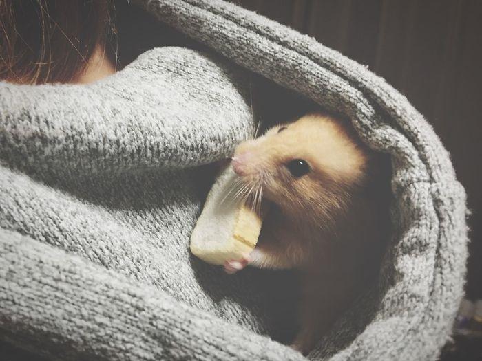 ハムスター Hamster きんくま フードの中で 食事中
