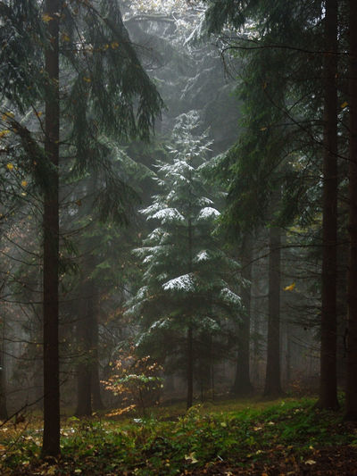 I love it when the fog creeps into a winter scene... Beauty In Nature Branch Cold Day Environment Fog Forest Landscape Nature No People November Outdoors Pinaceae Pine Tree Pine Wood Scenics Snow Tranquility Tree Tree Area Winter