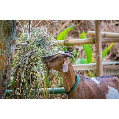 Goat Grenadagoats Nature_sultans Nature_obsession_landscapes Nature_wizards Westindies_pictures Wildlife_in_bl WestIndies Icu_puertorico Ig_grenada PureGrenada