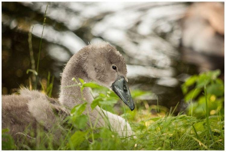 young swan Bird