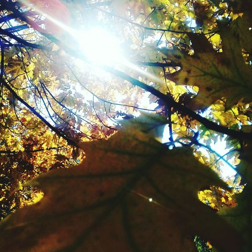 Sunbeam Sunlight Tree Nature Lens Flare Sun Autumn Day Outdoors Leaf No People Low Angle View Beauty In Nature Branch Brightly Lit Scenics Growth Shadow Landscape Sky