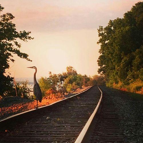 Railroad Railway Train Heron Herons Train Tracks Railroad Tracks Trackside Tracks Track