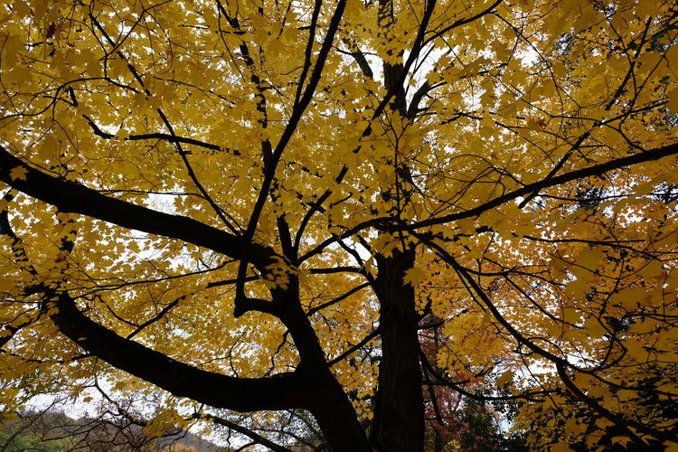 Tree Plant Autumn Branch Low Angle View Beauty In Nature No People Change Nature Growth Tranquility Outdoors Tree Trunk Trunk Plant Part Day Leaf Sky Yellow Scenics - Nature Tree Canopy  Leaves Maple Leaf Natural Condition