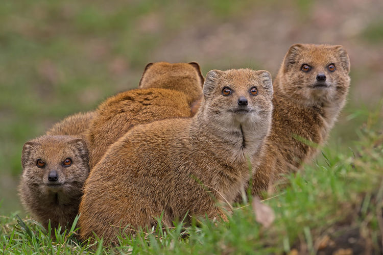 Mongooses On Field