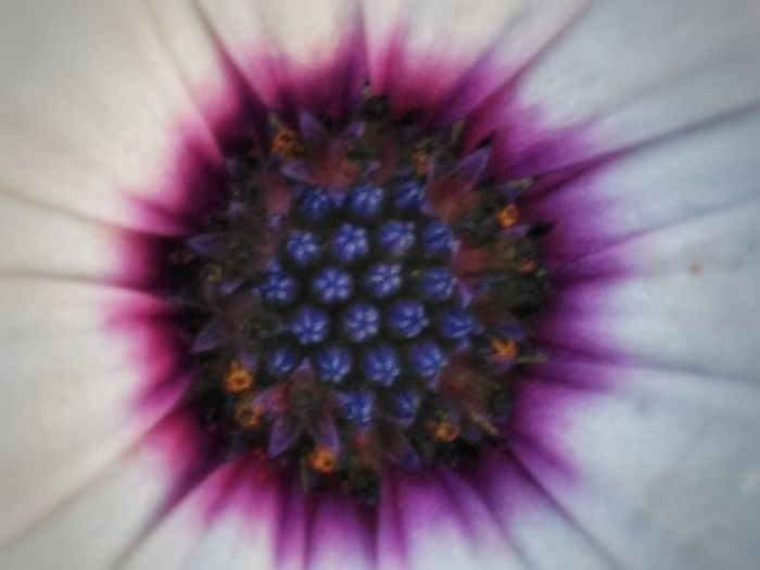 Flower Head Passion Flower Flower Eastern Purple Coneflower Petal Springtime Pollen Purple Stamen Backgrounds