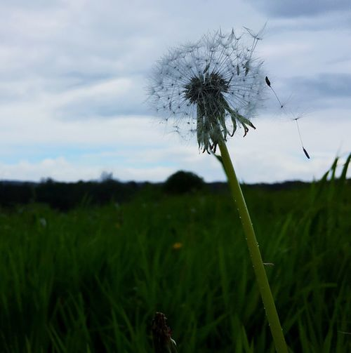 Sky And Clouds Cloudy Day Rainy Day Dandelion Dandelions Observing Nature Nature_collection Nature Naturaleza🌾🌿 Peace And Quiet Capture The Moment Captured Moment Don't Let Me Go  Flying Dandelion Dandelion Seeds Fly