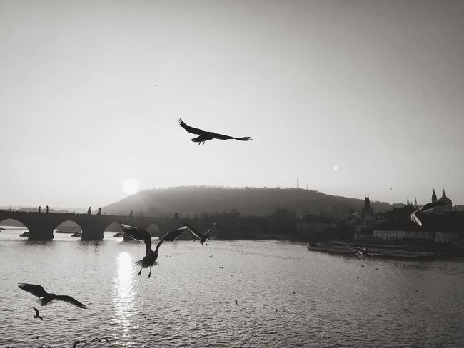 Prague Birds Birds Of EyeEm  Birdsflyinghigh Charles Bridge Zapadslunce Sundawn Vltava