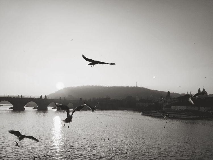 Prague Birds Birds Of EyeEm  Birdsflyinghigh Charles Bridge Zapadslunce Sundawn Vltava