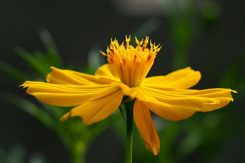 Flower Petal Yellow Fragility Flower Head Freshness Nature Plant Close-up No People Outdoors Defocused Awe Sunflower Day Beauty In Nature Tranquility Summer Growth Black-eyed Susan Camera Practice Camera Life Is My Life! Beauty In Nature