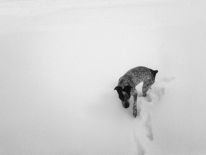 High angle view of german short-haired pointer on snow covered field