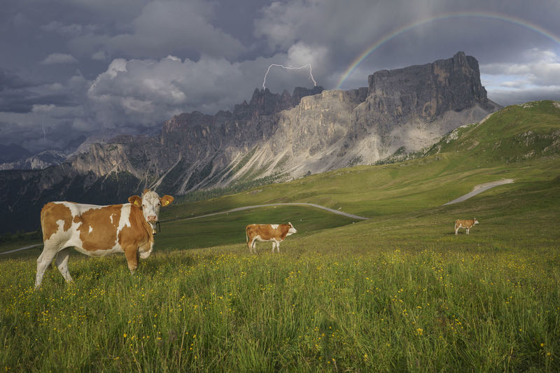 Colle Santa Lucia Dolomites Farm Animals Passo Giau Storm Alps Bovine Clouds Cow Day Field Grass Italy Landscape Mammal Mountain Mountain Range Nature No People Outdoors Rainbow San Vito Di Cadore Sky Thunder Thunderstorm Lost In The Landscape
