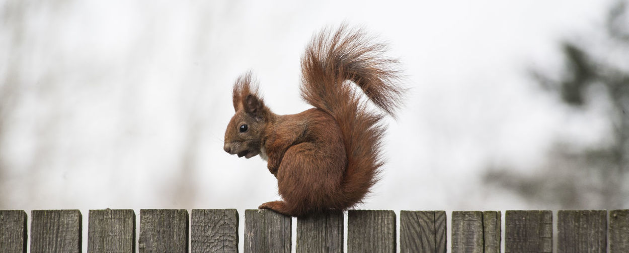 Side view of eurasian red squirrel on wooden fence against sky