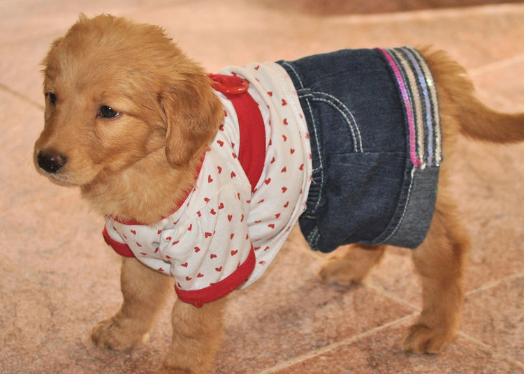 Yup, I'm cute! Too Cute Cute Puppy Adorable Dog Adorable Puppy Dressed Up Puppy Puppy In Clothes Golden Labrador So Cute Cute Pets Domestic Pets Domestic Animals Canine Dog Clothing Animal Themes Animal Pet Clothing Looking Away Innocence Cute Side View Looking