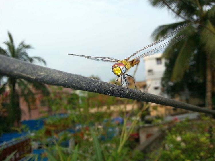 Nature's Helicopter :Nature On Your Doorstep Insect Photography Dragonfly Beautiful Nature Beautyful Earth Check This Out Taking Photos EyeEm Selects in my rooftop garden at Berhampore India