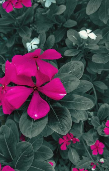 Flower Flower Head Periwinkle Leaf Pink Color Petal Close-up Plant