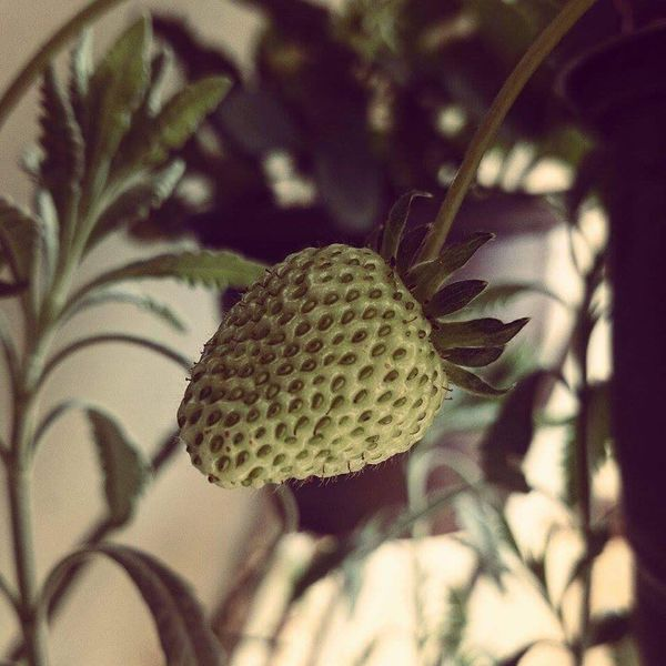 Strawberry Growth Close-up Plant Nature Freshness Beauty In Nature Botany EyeEm Nature Lover EyeEm Best Shots EyeEm Best Shots - Nature Eyeemeyes Fruits ♡ Fraise Beautiful Nature Nature Harmony Nature Is Art