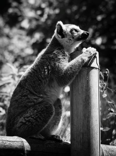 Close-up of lemur sitting on fence