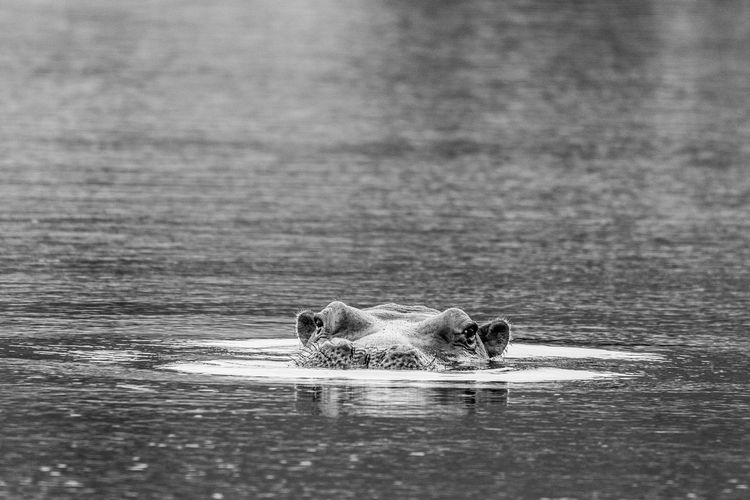 Water Mammal One Animal Animal Wildlife Animals In The Wild Vertebrate Waterfront Swimming No People Day Nature Animal Body Part Outdoors Aggression  Hippie Hippopotamus Safari Animals Animal Themes Animal Lake Selective Focus Reflection Animal Head