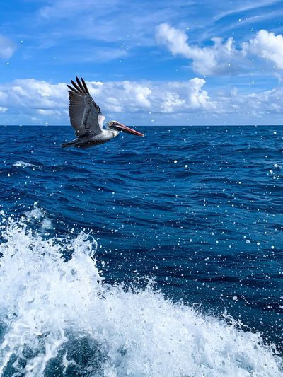 A pelican in flight flies in front of a dark blue ocean and a bright blue sky on a sunny, cloudy day as waves crash below it. EyeEm Best Shots - Nature EyeEm Best Shots Pelican Blue Sky Waves Birds Bird Water Sea Nature Sky Animal Animal Themes Motion Day Beauty In Nature Horizon Over Water Animals In The Wild One Animal Blue Animal Wildlife Horizon Outdoors