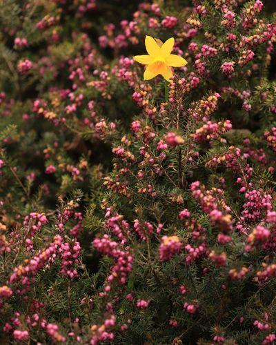 daffodils in