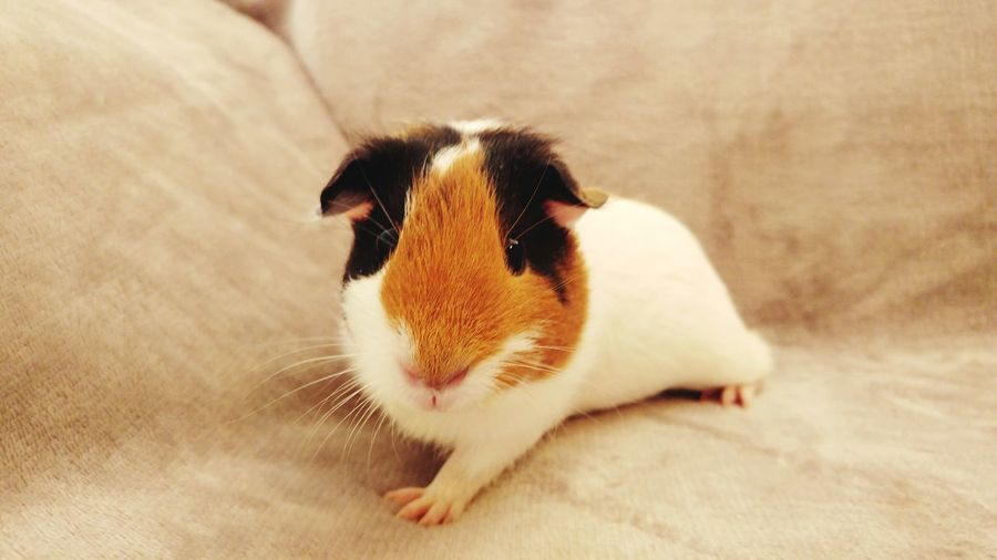 EyeEm Selects Pets One Animal Animal Domestic Animals Cute Animal Body Part Mammal Animal Themes Portrait Looking At Camera Indoors  Dog No People Close-up Day Nature Guinea Pig Guineapiglove Guineapigsofinstagram Guinea Pig Love Guinea Pigs
