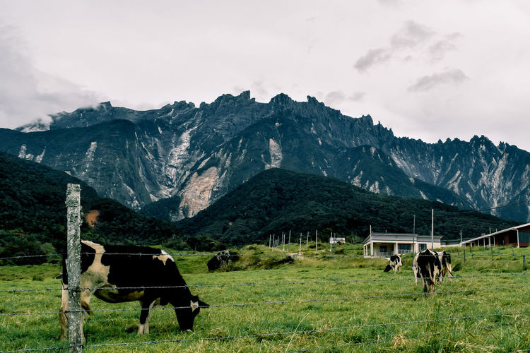 Cow in a field near the mountain