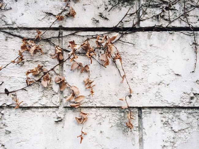Dead Leaves Hanging On The Wall White Wall Old Bricks Blocks Aged Dirty