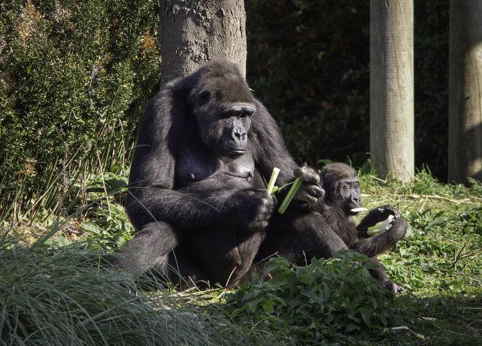 Mammal Primate Animal Ape Group Of Animals Gorilla Animal Family Baby