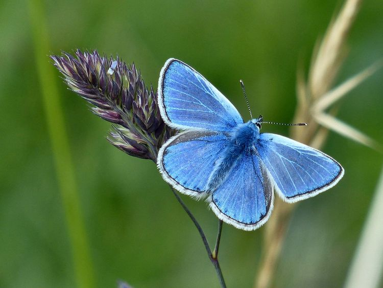 A Common Blue butterfly on the South Downs in East Sussex - May 2016. East Sussex England, UK South Downs Animals In The Wild Beauty In Nature Blue Butterfly Butterfly - Insect Common Blue Common Blue Butterfly Hove Insect Outdoors South Downs National Park