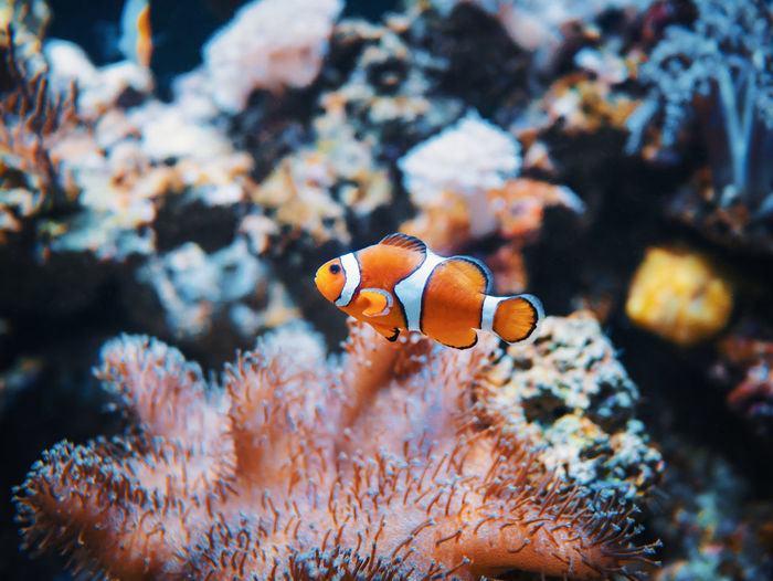 Animal Themes Animal Wildlife Animals In The Wild Beauty In Nature Close-up Clown Fish Coral Day Fish Focus On Foreground Nature No People One Animal Outdoors Sea Sea Anemone Sea Life Swimming UnderSea Underwater Water