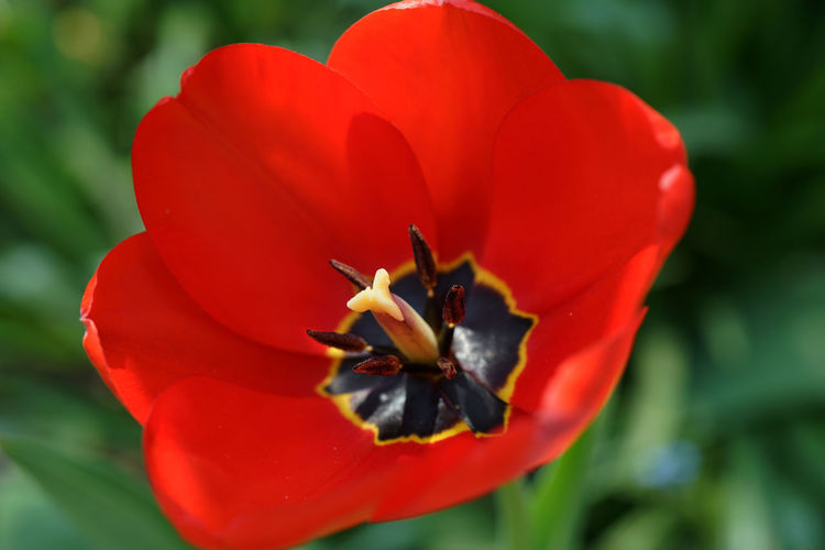 Close-up of red tulip