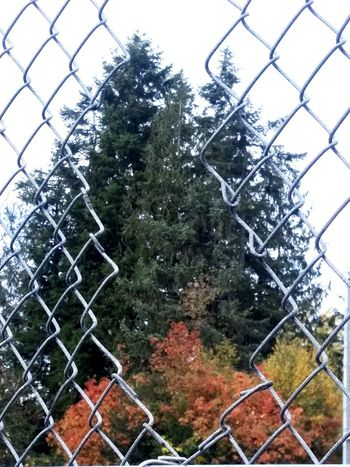 Nature Outdoors Day No People Tree Fence Chainlink Fence Sky Naturerox Treethugger Nature_collection Landscape_collection EyeEmNatureLover Green Color Growth OctoberPhotoChallenge Tree Lush Foliage