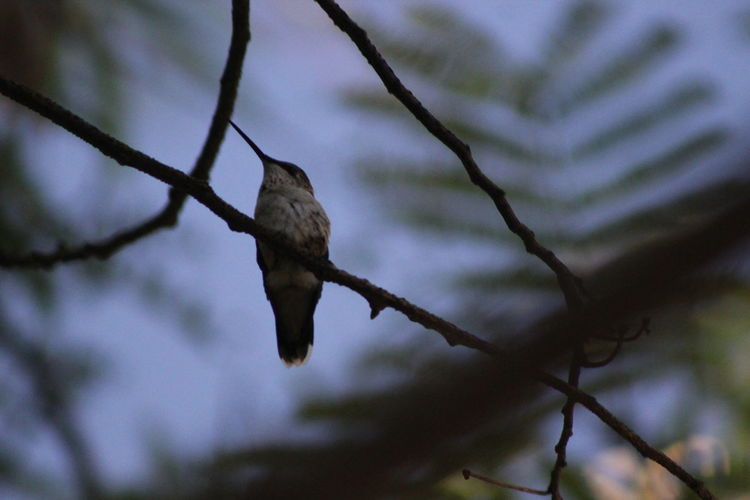 Beauty In Nature Birds Blurredbackground Branch Close-up Day Focus On Foreground Hummingbird Nature Perching Photography Popular Photos Scenics Tree Trees
