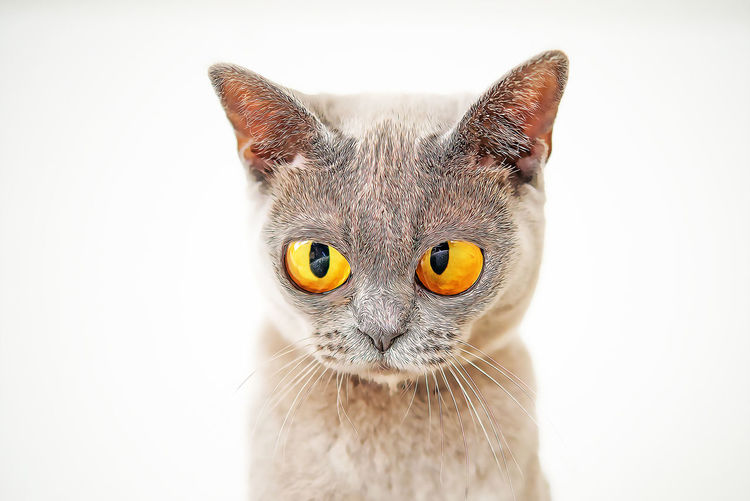Cat Domestic Cat One Animal Pets Domestic Animal Mammal Animal Themes Domestic Animals Feline Portrait Animal Body Part Vertebrate White Background Studio Shot Animal Head  Looking At Camera Close-up No People Indoors  Whisker Animal Eye Yellow Eyes