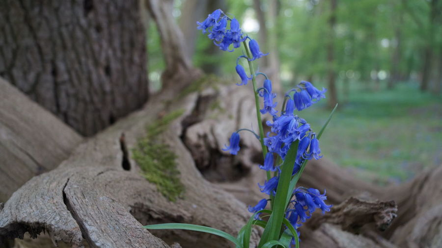 Bark Beauty In Nature Bluebell Bluebell Wood Day Growth Nature No People Outdoors Spring Woods