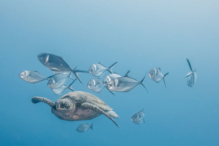 Animal Themes Animal Animals In The Wild Sea Animal Wildlife Swimming Underwater Water Vertebrate Group Of Animals Sea Life Marine Blue Fish Nature UnderSea No People Turtle Reptile School Of Fish