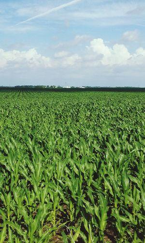 Crop  Field Rural Scene Agriculture Farm Beauty In Nature Corn