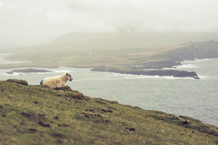 Relaxing in the storm Animal Themes Beauty In Nature Coastline Day Fog Ireland Majestic Nature No People Non-urban Scene Portmagee Rock Formation Scenics Sea Sheep Shore Sky Solitude Tranquil Scene Tranquility Water