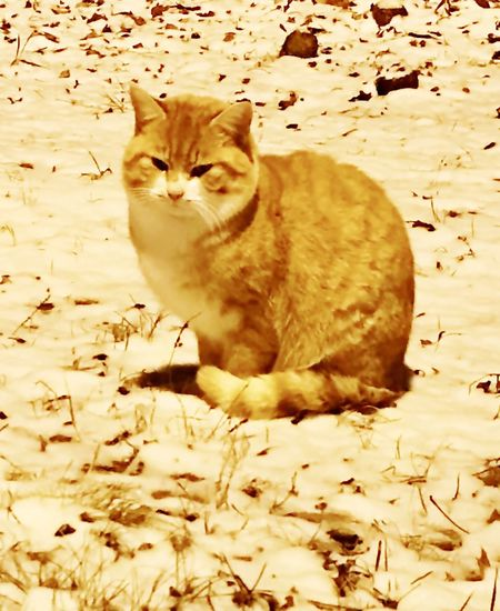 Beautiful ginger-and-white tabby tomcat sitting in first Tennessee snow of 2017 Domestic Cat One Animal Animal Themes Mammal Domestic Animals Pets Feline Cat No People Day Outdoors Nature Close-up animal behavior Stock Photo Picture Copper Green Eyes Whiskers Companion Pet Domestic Cats One Animal No People Shorthaired Medium Fur American Feline Feral Stray Indoor Outdoor House Home Cutest Cat Of Day Cat Lover Breeds Carnivora Zoology Tabby Tomcat Mammal Playful C Yellow Eyes Loyalty Cute Cats Snow Landscape  Looking At Camera
