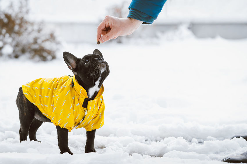 Training session. Dog Training Puppy Frenchbulldog French Bulldog Frenchie Pet Portrait Pet Yellow Hand Togetherness Bonding Warm Clothing Domestic Animals Human Hand Pets Dog Winter Purebred Dog Pet Owner Snow Covered Snow Loyalty Cold Obedience Cold Temperature