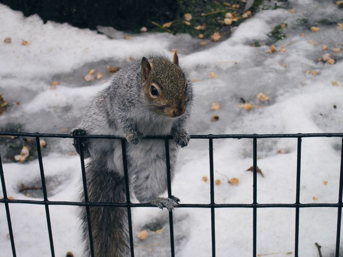 Squirrel On Metal Grate During Winter