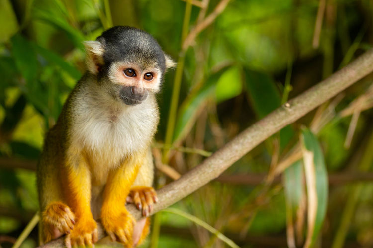 portrait of a squirrel monkey sitting in a tree Portraits Tree Animal Wildlife Animals In The Wild Bamboo - Plant Close Up Day Focus On Foreground Looking Looking At Camera Mammal Nature No People One Animal Outdoors Plant Portrait Primate Sitting Squirrel Closeup Tree Vertebrate