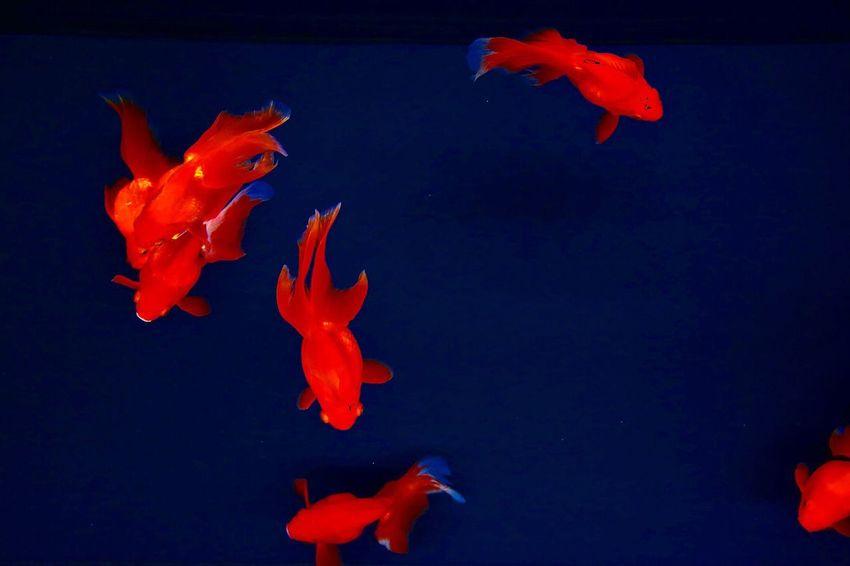 Goldfish Aquarium Red PENTAX K-70