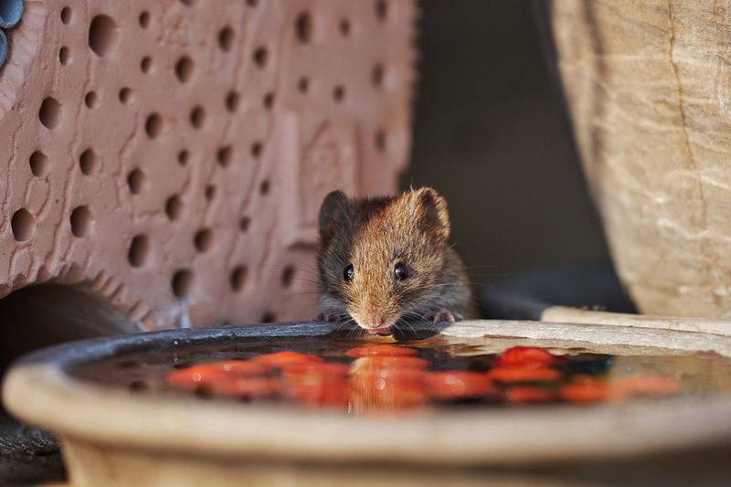 Close-up of rat drinking water