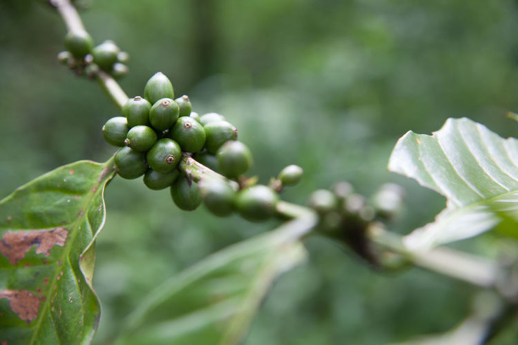 Green coffee beans on twig
