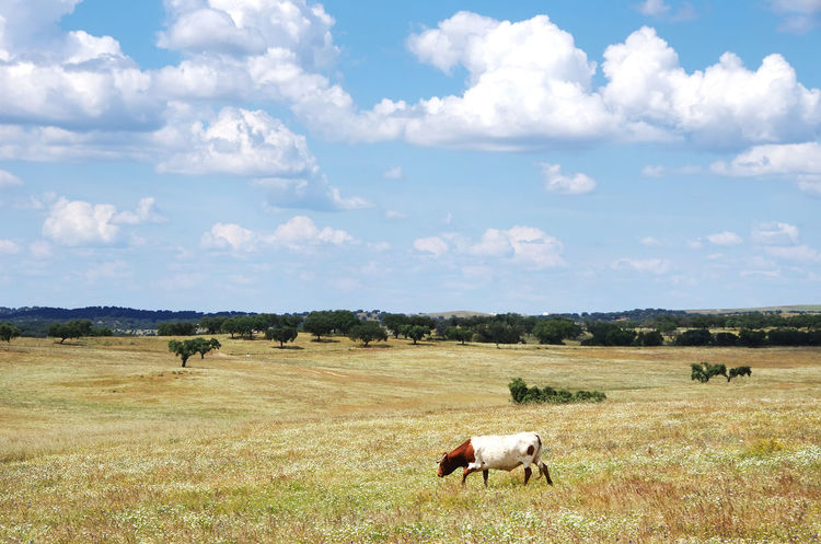 solitary cow in agricultural field Agricultural Field Agriculture Animal Animal Themes Cloud - Sky Cow Domestic Domestic Animals Environment Field Grass Grazing Herbivorous Landscape Mammal