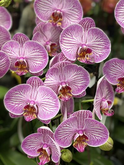 Close-up of pink orchids on plant