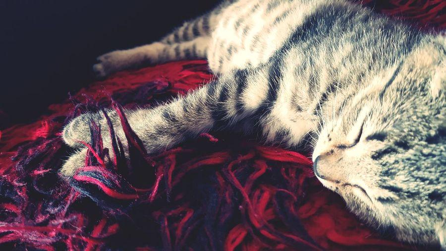 Close-up No People Animal Themes Mammal Day Animal One Animal Domestic Cat Pets Domestic Animals Pet Portraits