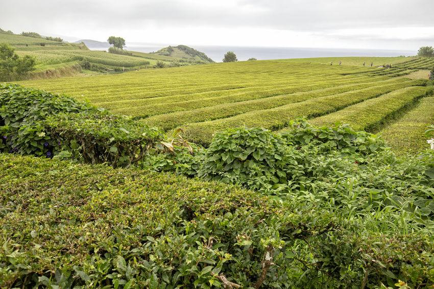 A tea plantation on the Azores island of Sao Miguel. São Brás São Brás Cha Gorreana Portugal Azores Sao Miguel Tea Green Black Production Factory Industry Rows Atlantic Europe Cha Gorreana Organic Leaf Agriculture Island Tourism Drink No People