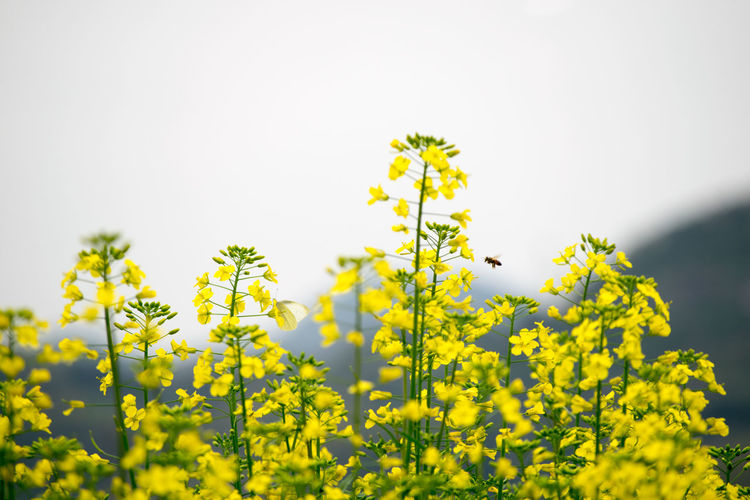 Beauty In Nature Clear Sky Close-up Copy Space Day Field Flower Focus On Foreground Fragility Freshness Green Color Growth Leaf Low Angle View Nature Outdoors Plant Stem Tranquility Yellow 蝶と蜂 Butterfly Bee